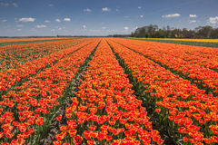 Field of orange and yellow tulips Royalty Free Stock Photography
