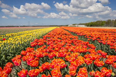 Field of orange and yellow tulips Royalty Free Stock Images