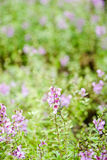 Field of orchid flower. Blured background. Blured background of tiny purple flower Royalty Free Stock Photos