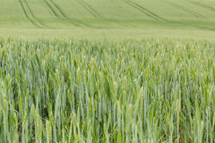 Field of organic green grains Stock Photo