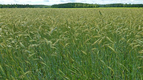 Field of organic rye. The stems of organic rye are longer than of the genetically modified rye Stock Image