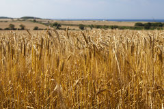 Field of organic wheat landscape Royalty Free Stock Photography