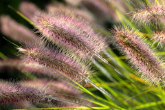 Field of ornamental grasses in the garden in close up Stock Photography