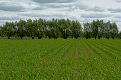 Field of young green corn plants with row of trees behind Royalty Free Stock Photography