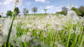 Field of overblown white dandelions on sunny day stock video footage