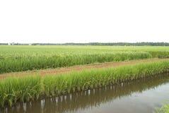 field paddy Royaltyfria Bilder