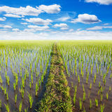 Field paddy rice with white clouds Stock Photography