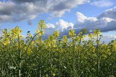 Field painted the color of. Image of landscapes spring and blooming fields Stock Images