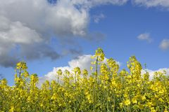 Field painted the color of rape. Image of landscapes spring and blooming rape fields Royalty Free Stock Photography