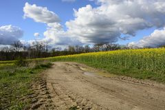 Field painted the color of rape. Image of landscapes spring and blooming rape fields Royalty Free Stock Photos