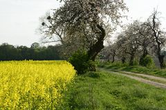 Field painted the color of rape. Image of landscapes spring and blooming rape fields Royalty Free Stock Image