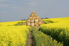 Field painted the color of rape. Image of landscapes spring and blooming rape fields Stock Photography