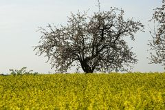 Field painted the color of rape. Image of landscapes spring and blooming rape fields Stock Photos