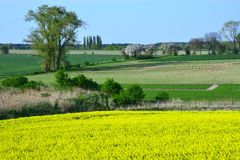 Field painted the color of rape. Image of landscapes spring and blooming rape fields Royalty Free Stock Images