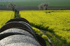 Field painted the color of rape. Image of landscapes spring and blooming rape fields Stock Photo