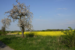 Field painted the color of rape. Image of landscapes spring and blooming rape fields Stock Image
