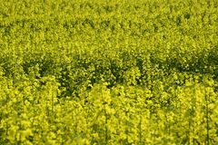 Field painted the color of rape. Image of landscapes spring and blooming rape fields Stock Images