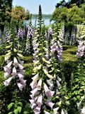 Foxglove against Lake Royalty Free Stock Image