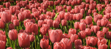 Field of pale red tulips Royalty Free Stock Photography