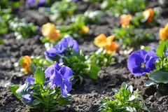 Field of pansies with dirt in the sun stock image