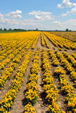 Field of pansies Stock Photo