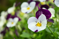 Field of pansy flowers. Shallow depth of field Royalty Free Stock Images