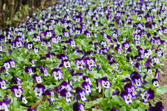 Field of pansy flowers Stock Image