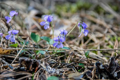 Field pansy. In the forest in spring Royalty Free Stock Photo
