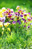 Field  Pansy mix Flowers in Spring Stock Photo