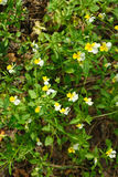 Field Pansy - Viola arvensis Stock Photography
