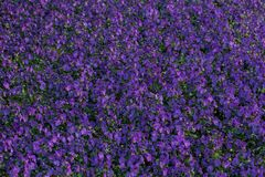 Field of Pansy viola flowers. Flower texture.Top view. Royalty Free Stock Photos