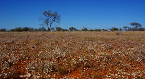 Field of Paper Daisies in the Australian Desert Stock Photography