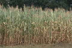 Field of partially dried out and brown cornstalks. Zea mays with wilted leaves. Due to little to no precipitation for watering, the cornstalks are partially Stock Photos