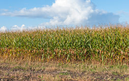 Field with partially harvested fodder maize Royalty Free Stock Photo