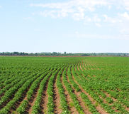 FIELD OF PATATOES Royalty Free Stock Photos