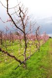 Field of peach trees Stock Photo