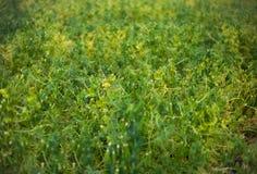 Field of peas Stock Photos