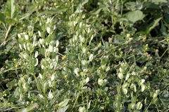 Field Pennycress 604682 royalty free stock photo