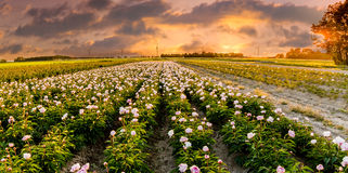 Field of Peonies in Flevoland during the sunset Royalty Free Stock Images