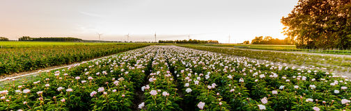 Field of Peonies in Flevoland during the sunset Royalty Free Stock Photo
