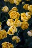 Field of peony tulips Royalty Free Stock Photos