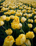 Field of peony tulips Stock Images