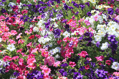 Field of Petunia Flowers. In shades of Pink, Purple and White Royalty Free Stock Images