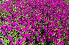 The field of petunia x hybrida `Ramblin Violet` flowers in a spring season at a botanical garden. The field of petunia x hybrida `Ramblin Violet` flowers plants royalty free stock photography