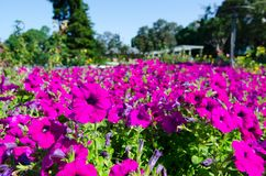 The field of petunia x hybrida `Ramblin Violet` flowers in a spring season at a botanical garden. The field of petunia x hybrida `Ramblin Violet` flowers plants stock images