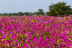 Field of petunias. Tree in a field of hot pink petunias Royalty Free Stock Photos