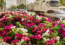 Field petunias in the city Stock Photo