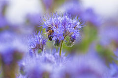 Field of Phacelia. Closeup of Phacelia Flower with a Bee Collecting Nectar Stock Images