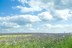 Field Phacelia Juss. Beautiful clouds, sky, field flowering tansy Royalty Free Stock Photo