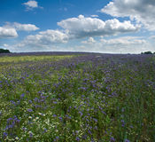 Field Phacelia Juss Royalty Free Stock Image